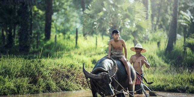 Asiatischer Wasserbüffel bei der Arbeit auf dem Feld